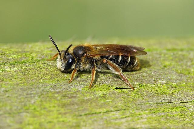 Hawthorn Mining Bee - Andrena chrysosceles