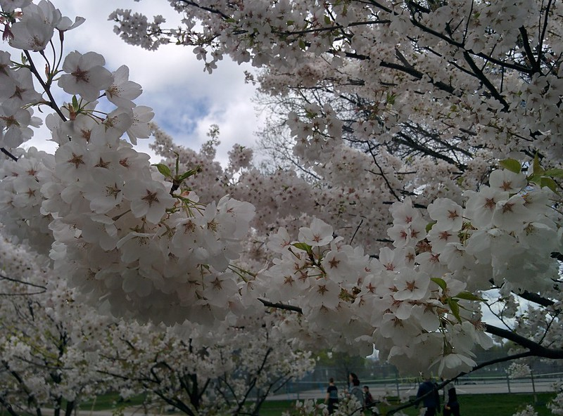 Sakura of Trinity Bellwoods (7) #toronto #trinitybellwoods #parks #sakura #cherryblossom #latergram
