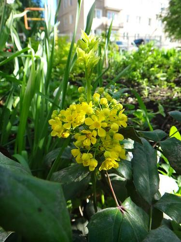 Цветет Магония падуболистная