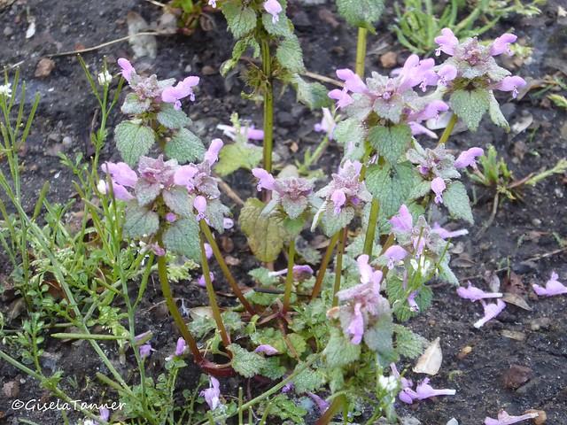 Wildblumen Taubnessel