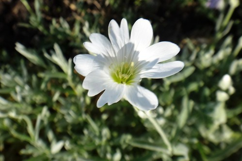 Цветок ясколки