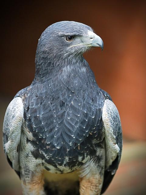 Grey buzzard eagle
