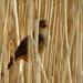 Reed Warbler 01