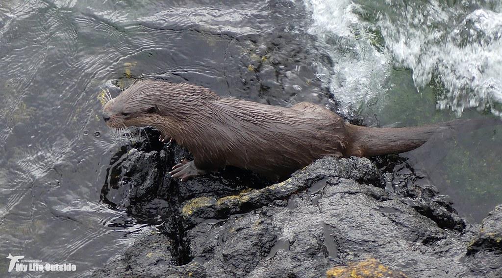 P1140224 - Otter, Isle of Mull