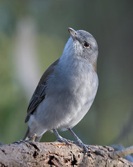 Grey Shrike-thrush : This is my best side!