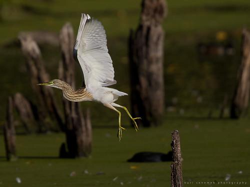 Squacco heron / Crabier chevelu