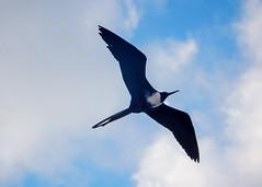 Fregatas in flight