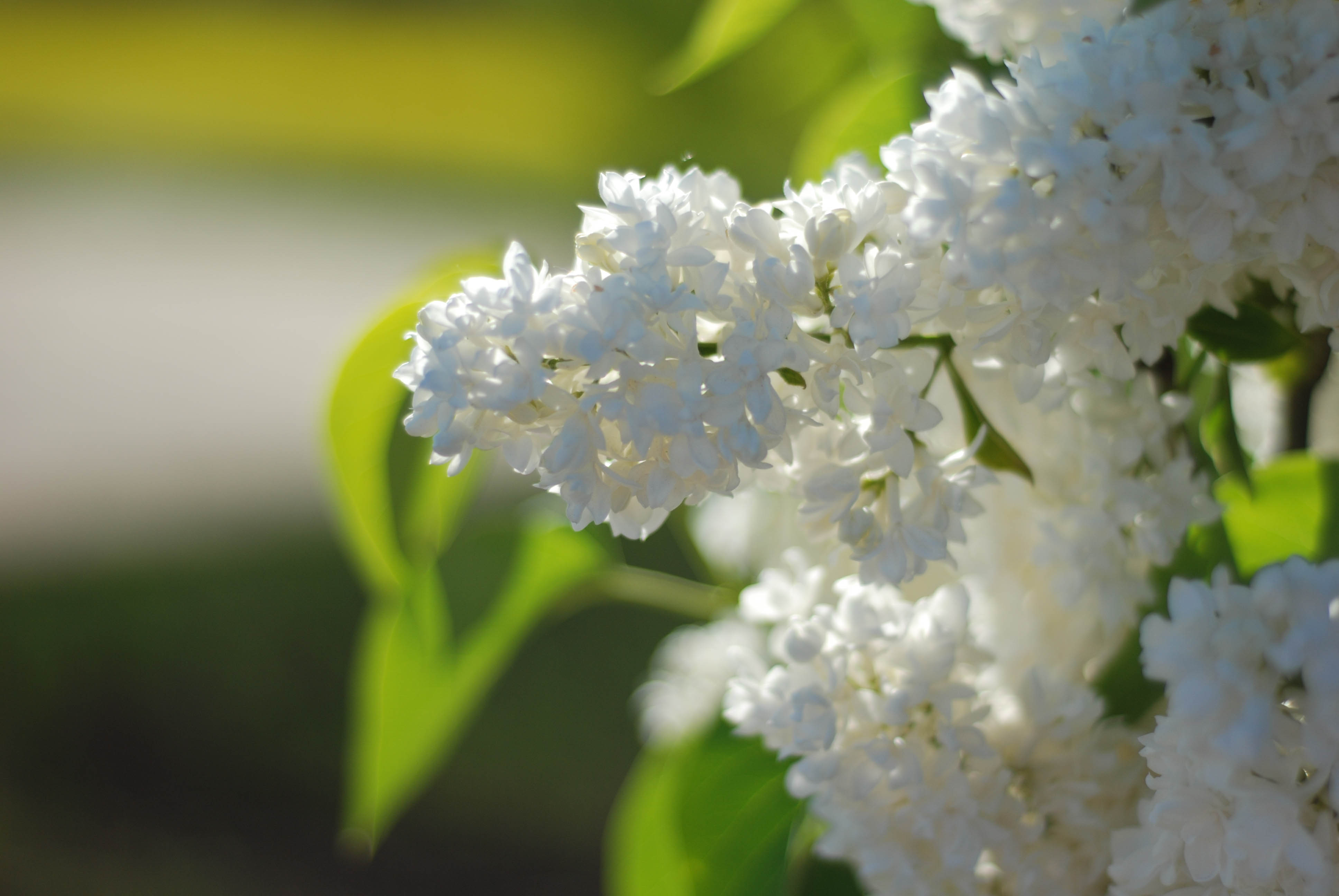 Free Stock Photo Of White Lilac