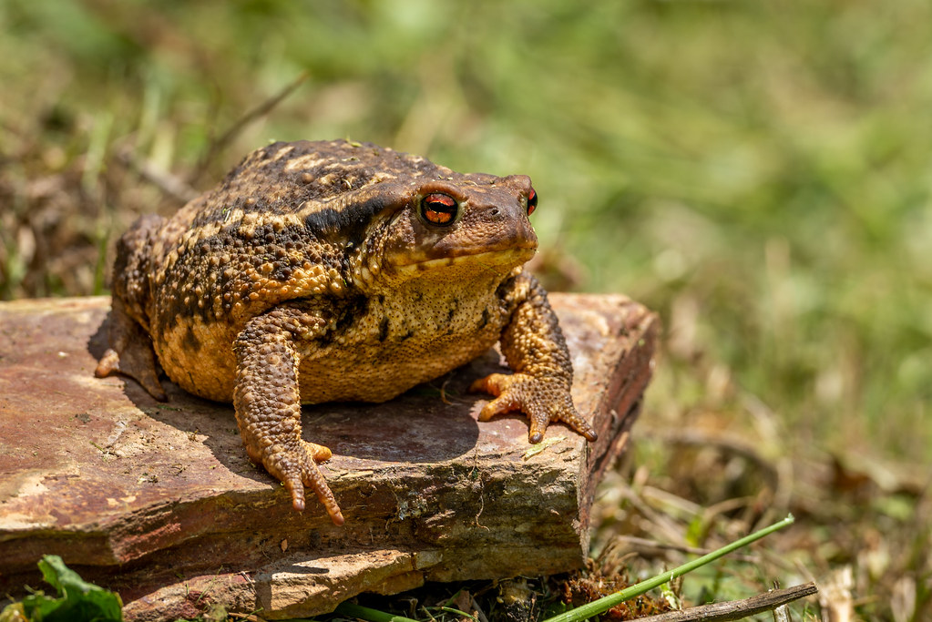 European Common Toad (Bufo bufo)