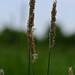 Græs-familien (Poaceae)-1497