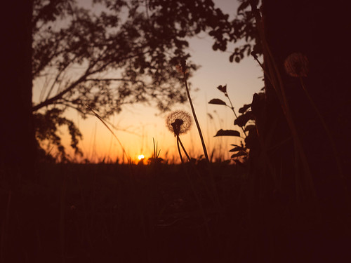 137 Pusteblume im Sonnenuntergang