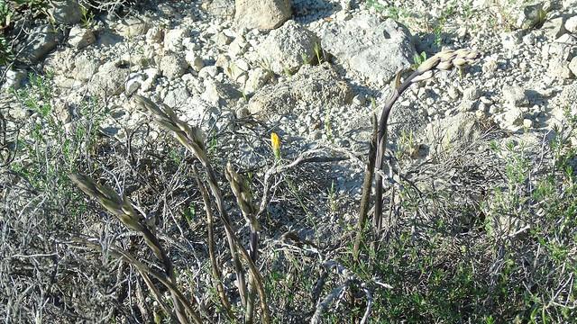7_Limodorum abortivum