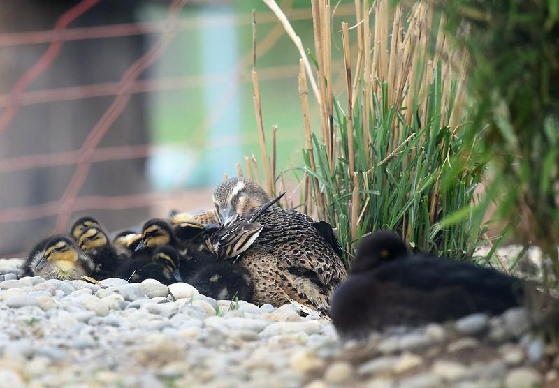Ducks 29.04 (4)