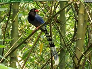 臺灣藍鵲 (Urocissa caerulea#Taiwan Blue Magpie)