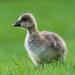 Goslings in Weald Country Park