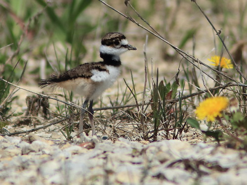 Killdeer hatchling 20180506