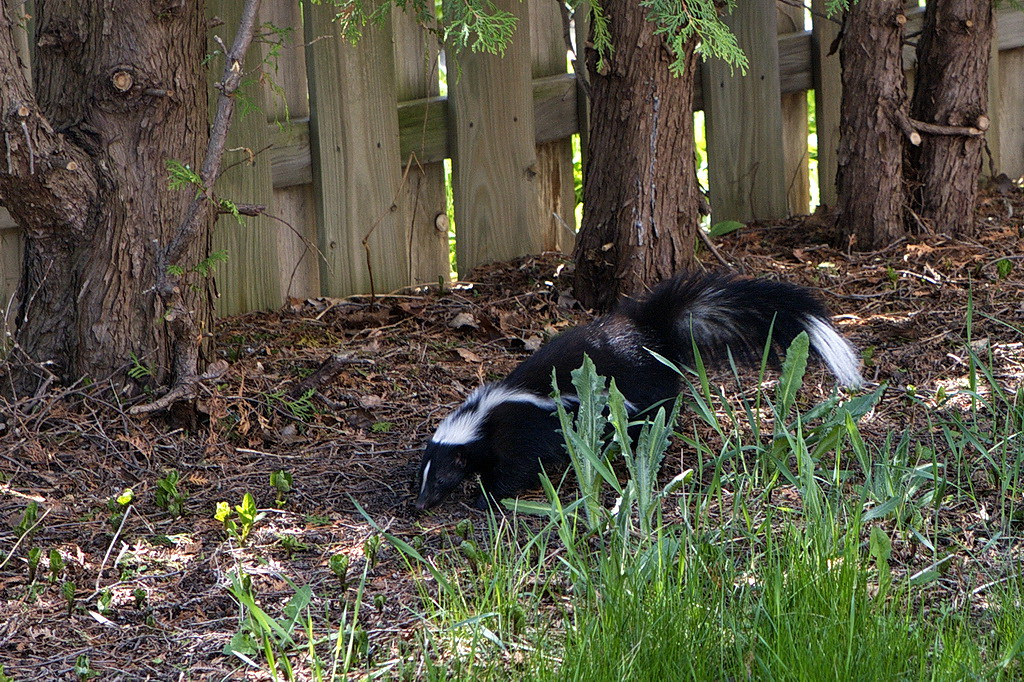 Skunk in our backyard(2)