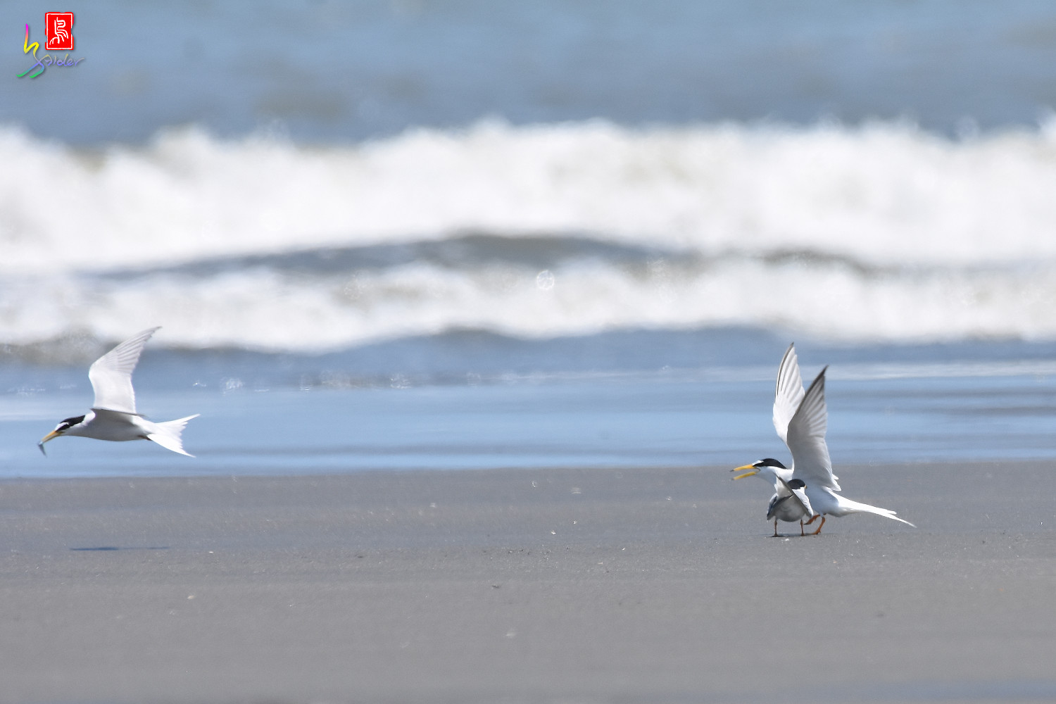 Little_Tern_7514