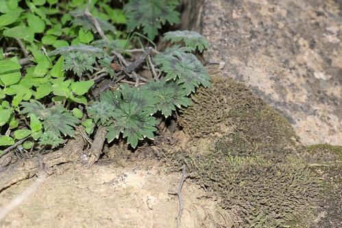 Pelargonium articulatum in habitat