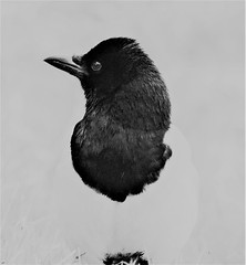 Magpie - Black and White (Naturally..)