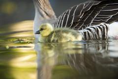 Greylag Goose gosling by Benjamin Joseph Andrew