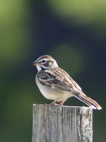 Lark Sparrow 01-20180507