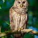 Barred Owl in Magic Light by Maranda Mink