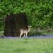 Wild Deer in Weald Country Park