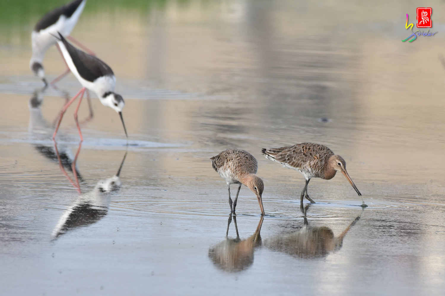 Black-tailed_Godwit_6807