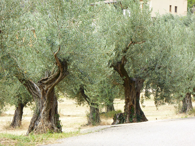 Ancient Olive trees are a feature of much of Spain and can be found around Canabria and Asturias Regions of Spain