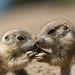 Was mögen diese zwei jungen Prairiehunde wohl gerade aushecken? by Petra Güldner