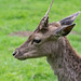 Deer in Weald Country Park