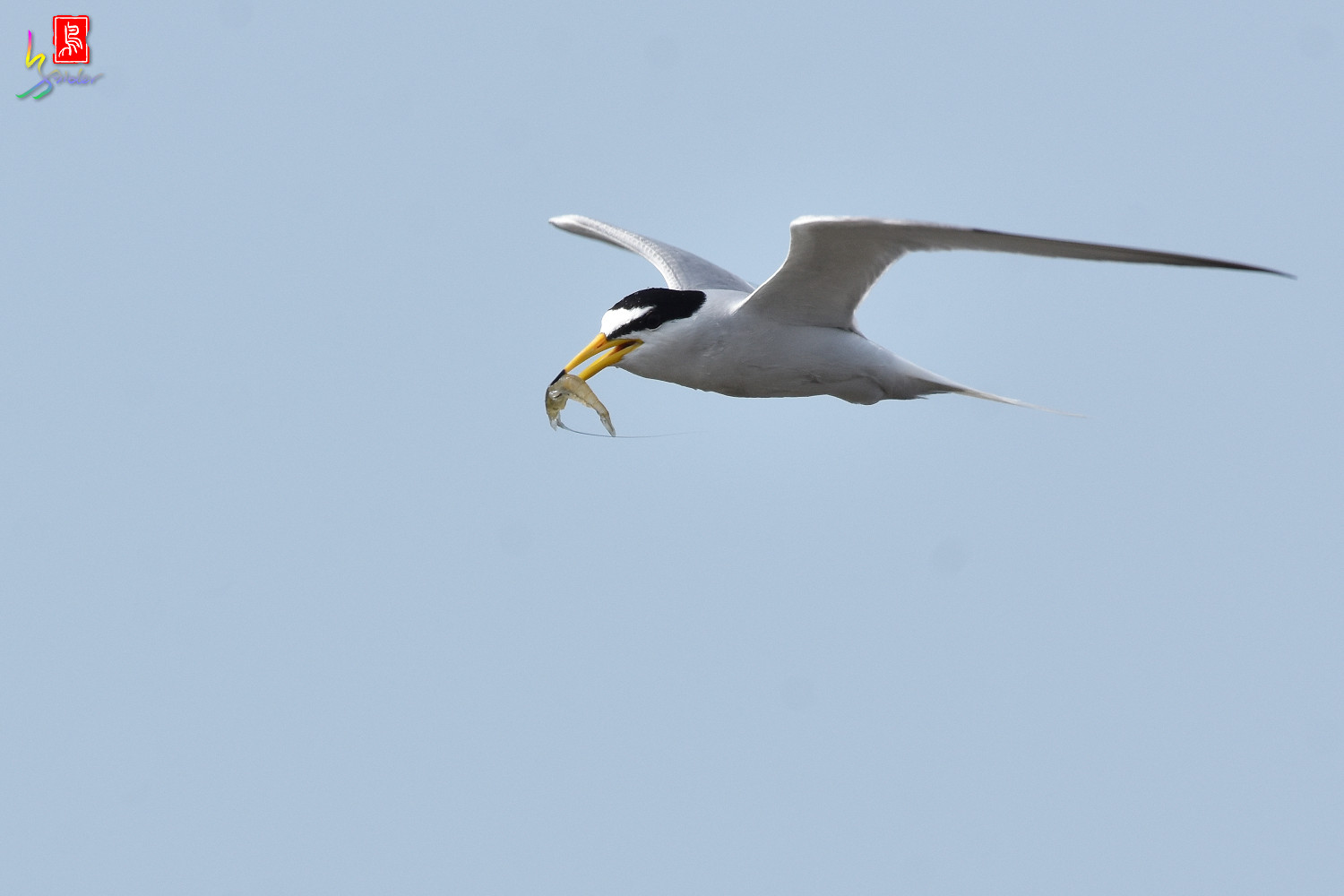 Little_Tern_4308