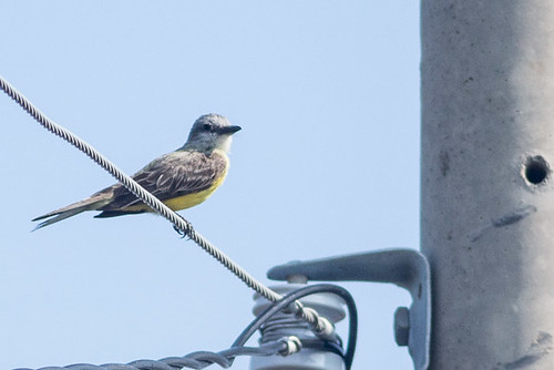 kingbird maybe