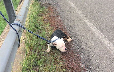 Pitbull legato al guardrail sulla Cilentana. Salvato dalla Polizia Stradale
