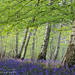 Late evening light in a bluebell wood, North Yorkshire
