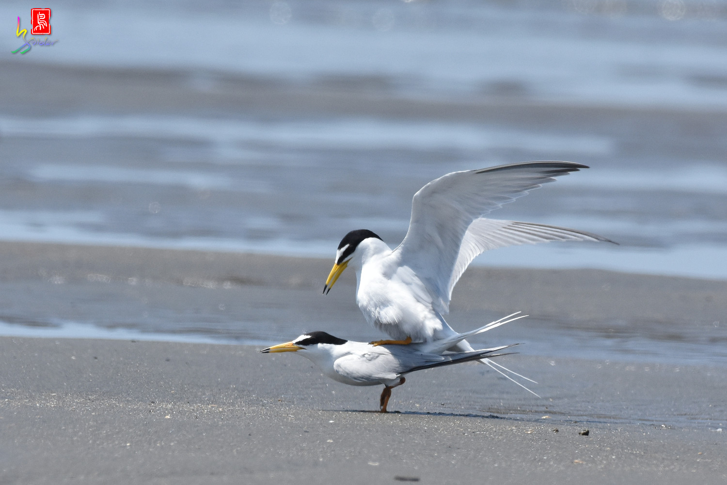 Little_Tern_8623