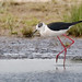 Black-winged Stilt_82A4356