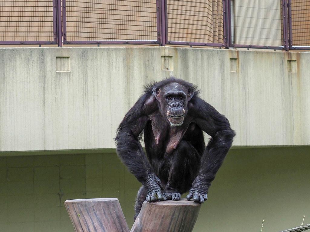 動物園チンパンジー/160mm相当