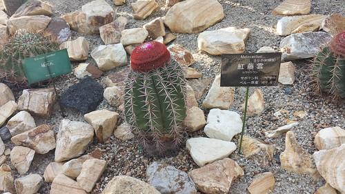 Jizo Cactus, Botanical Garden, Tokiwa Park, Ube