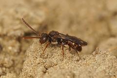 Nomada flavoguttata / Gewone kleine wespbij.