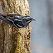 Black and white warbler. by ricmcarthur