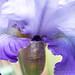 October Sky Iris, 5.11.18