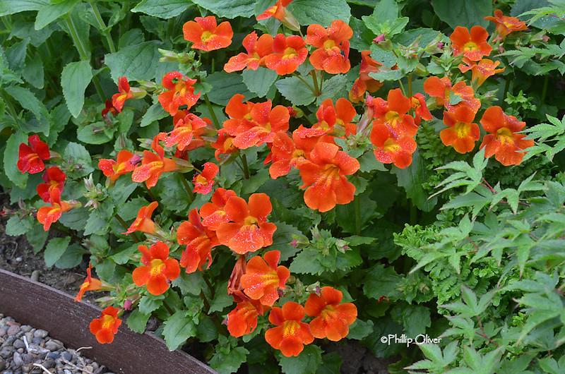 mimulus-cardinalis-monkey-flower