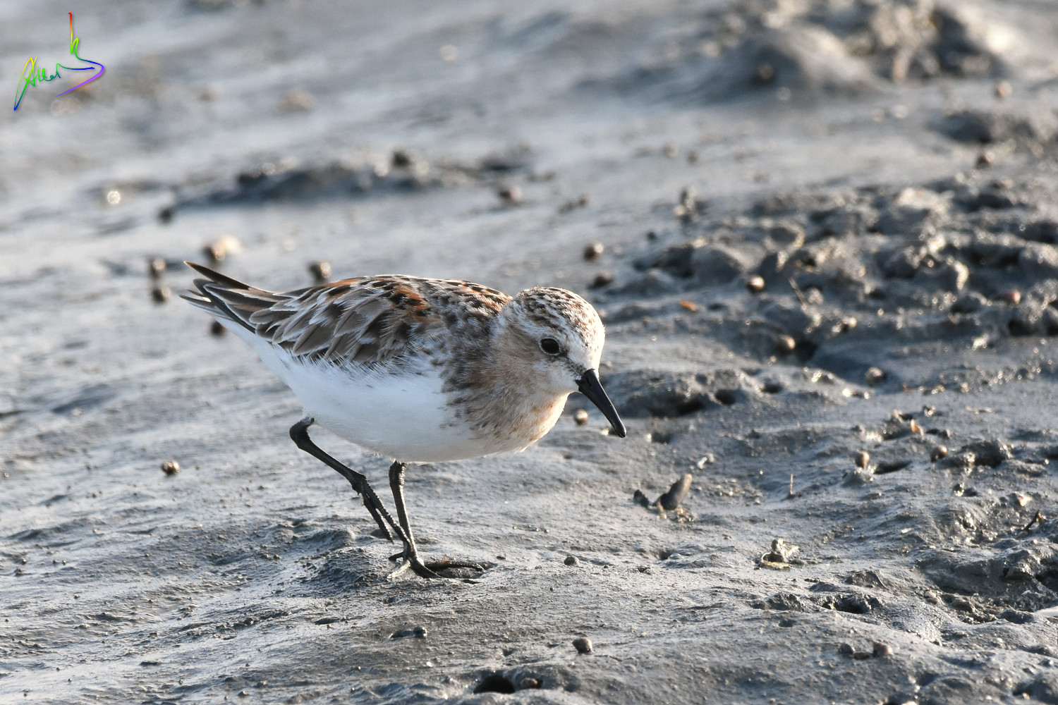 Red-necked_Stint_1580