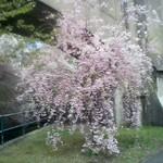 Cherry Blossoms, Branch Brook Park, 2018 - 4