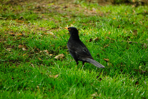 Bantock blackbird on the prowl