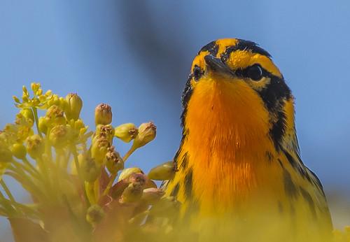 Male Blackburnian warbler closeup