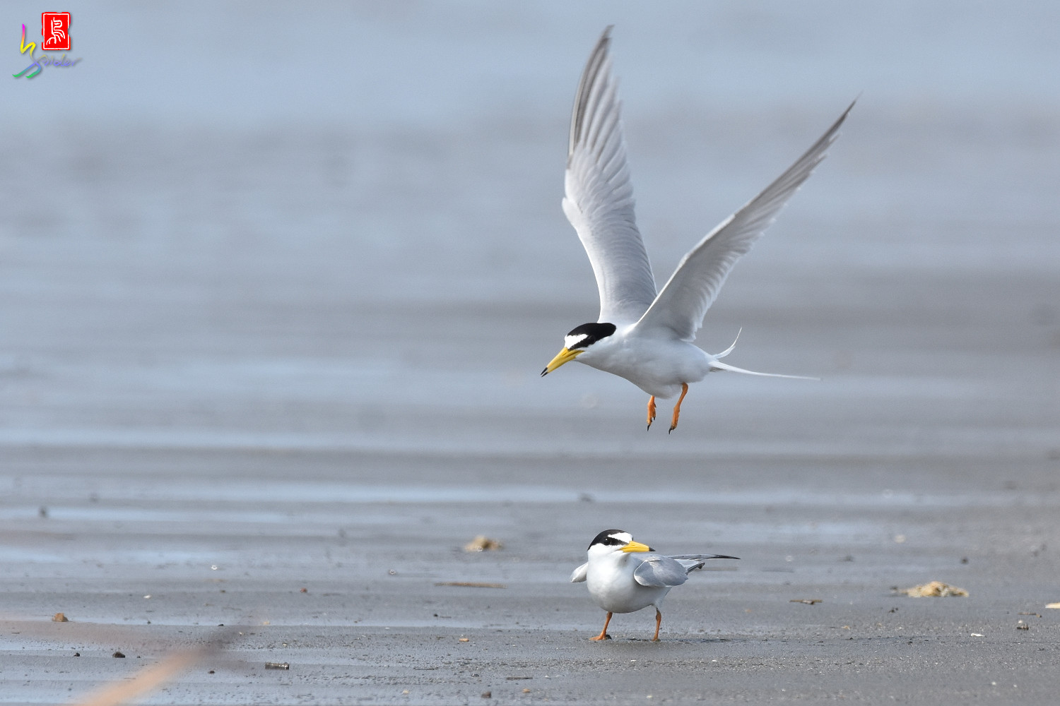 Little_Tern_4356