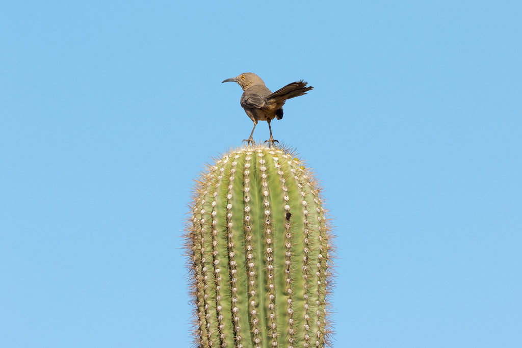 A curve-billed thrasher perches atop a saguaro at the Bajada Nature Trail in the McDowell Sonoran Preserve in Scottsdale, Arizona